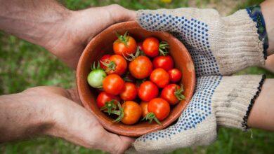 Japonští genetici rapidně zvýšili množství karotenoidů v rajčatech