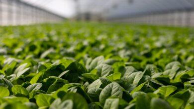 Senzor v rostlinné tkáni sleduje hladiny arzenu