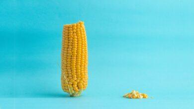 Modifikace kukuřice pomocí CRISPR může zefektivnit genetické manipulace a zvýšit výnosnost